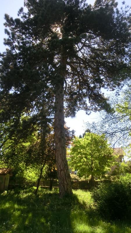 Schwarzkiefer-Stadtpark1